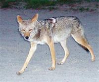 CoyoteAwareness.jpg