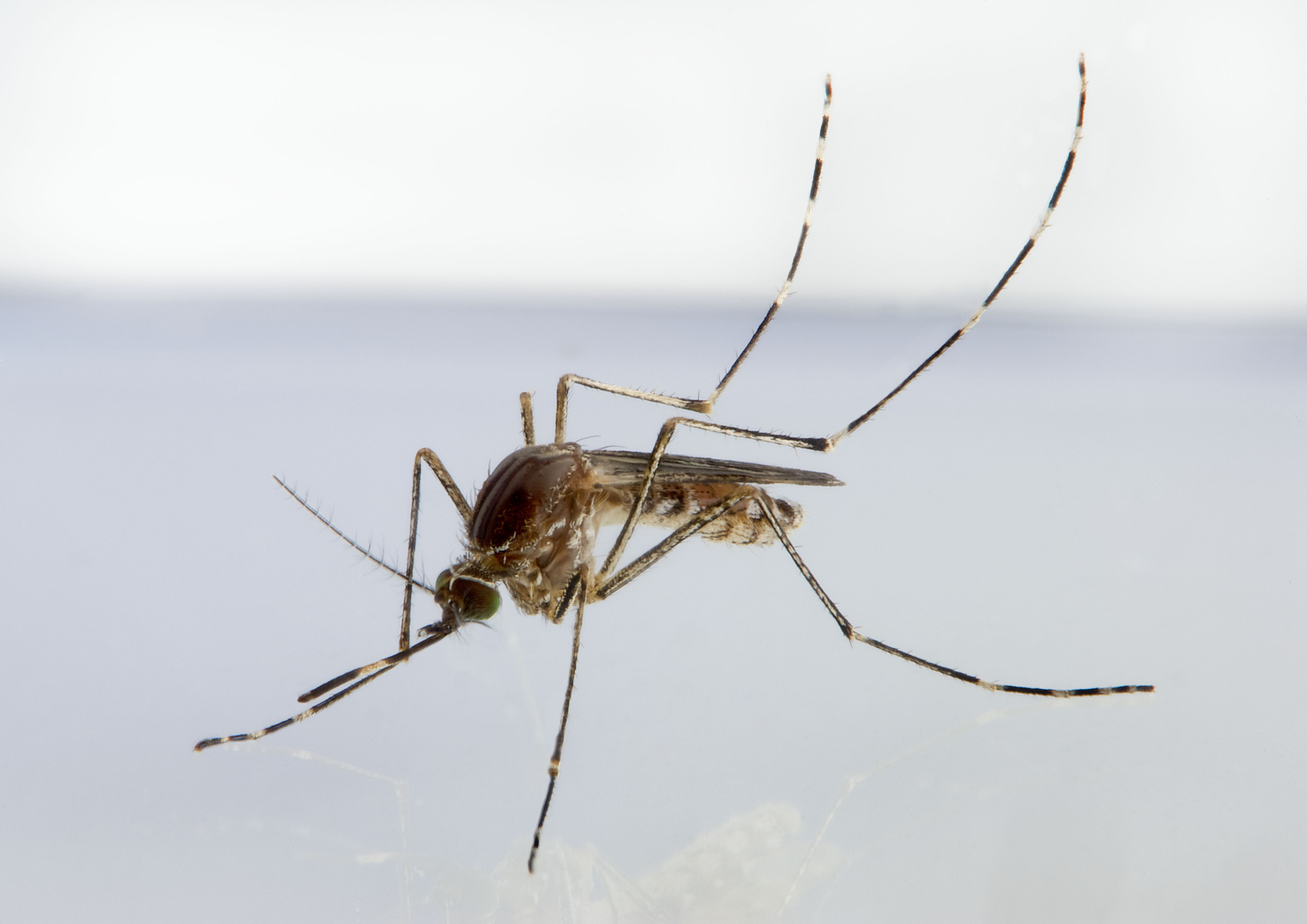 Photo of of a mosquito