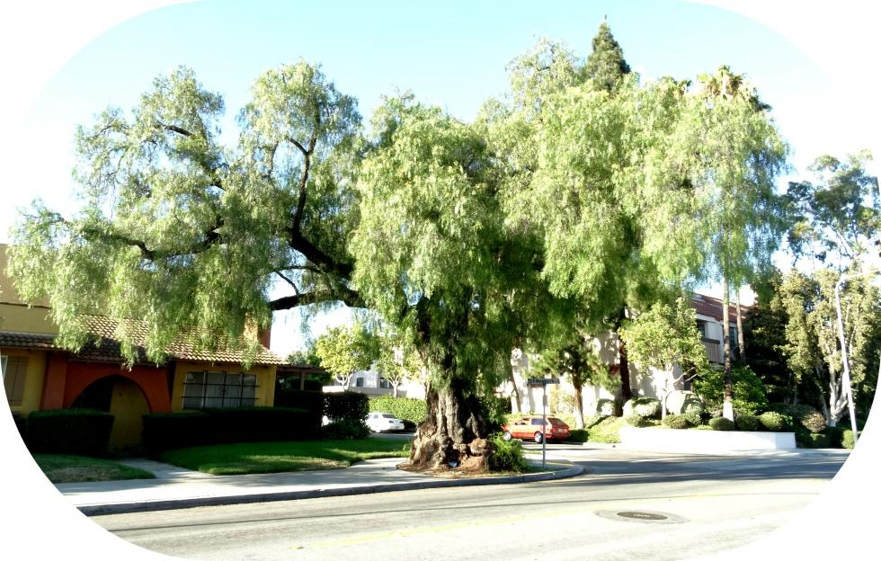 Dying tree to give new purpose in life to community city for Garden city trees